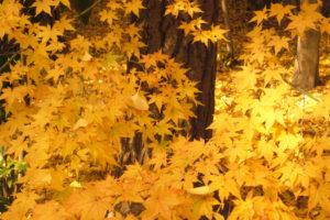 鞄工房山本版 奈良ガイド 「紅葉では無く黄葉〜橿原の秋」