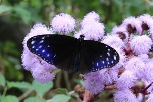 鞄工房山本版 奈良ガイド 600匹の蝶が舞う!「橿原市昆虫館」